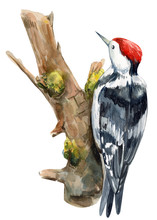 Woodpecker On An Isolated White Background, Watercolor Illustration, Forest Clipart