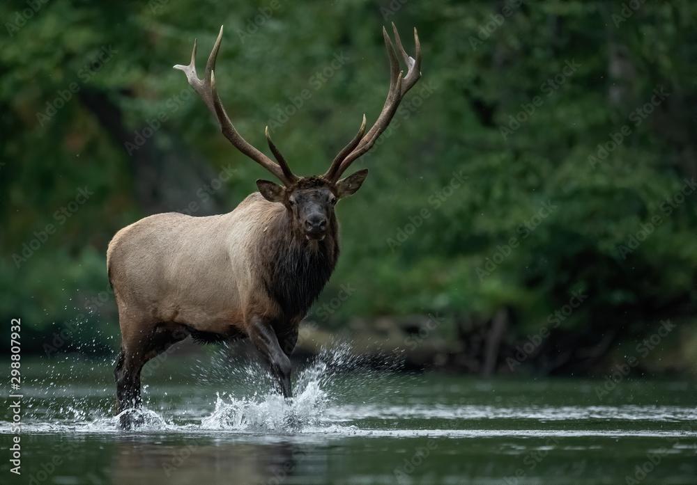 Fototapeta Bull Elk