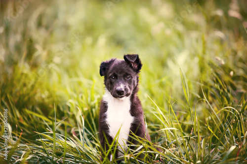Playful puppy sitting on a green gras in a beautiful sunset in a city park Fototapet