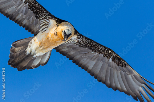 Recess Fitting Bird close-up bearded vulture (gypaetus barbatus) in flight