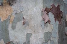 Close Up Of Plane Tree Bark,te...
