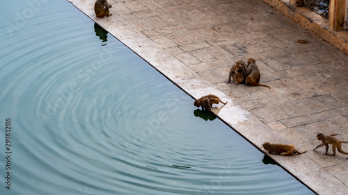 Monkeys creating water ripples at the Jaipur Monkey Temple Wallpaper Mural