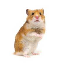 Hamster Standing On Its Hind L...