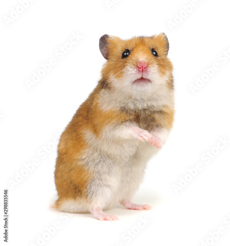 Tela Hamster standing on its hind legs isolated on white