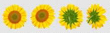 Blooming Sunflower. Realistic ...