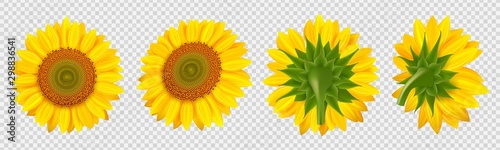 Blooming sunflower. Realistic vector sunflowers isolated on transparent background. Illustration sunflower flora, floral blossom flower realistic