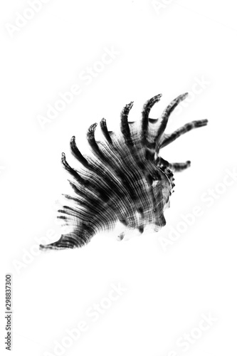 Valokuva  black and white one mambeda lambis shell on a white background