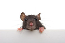 Funny Rat Isolated On White Ba...