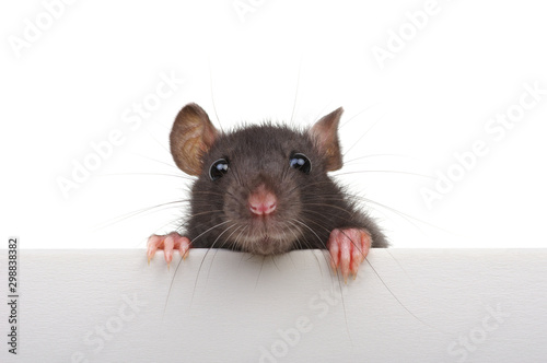 Fotografie, Obraz  Funny rat isolated on white background.