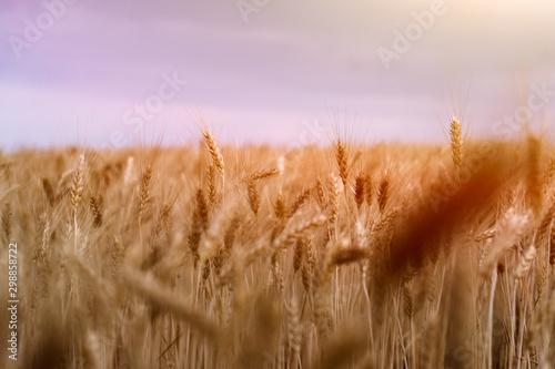 Wall Murals Light pink wheat field. ears of corn. sunset