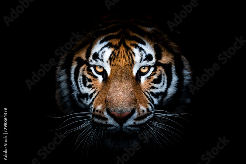 Portrait of a Tiger with a black background - 298864376