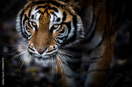 Keuken foto achterwand Tijger Portrait of a Tiger with a black background