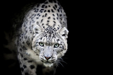 Snow Leopard With A Black Back...