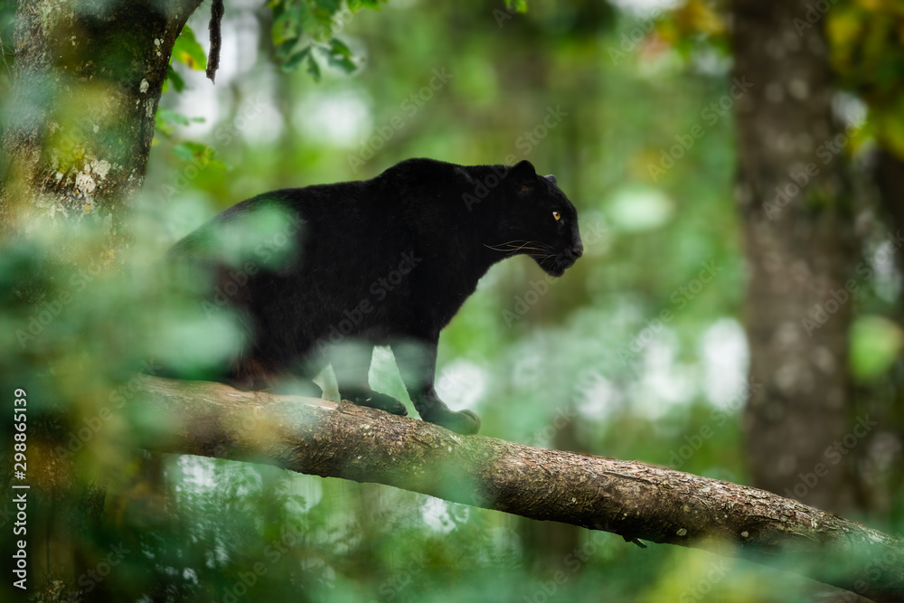 Fotografie, Obraz Black panther on the tree in the jungle