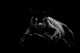 Fototapeta Zwierzęta - Black jaguar with a black background