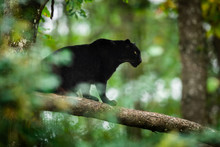 Black Panther On The Tree In The Jungle