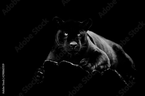 Photo sur Toile Panthère Black jaguar with a black background