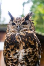 The Short-eared Owl Asio Flamm...