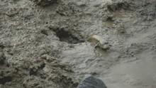 A Blue Spotted Mudskipper Craw...