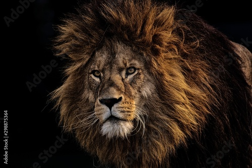 Photo Stands Lion lion,zoo,animal,head lion,face lion,king,wild,wild life,animals,life style,big cat,cat big cat