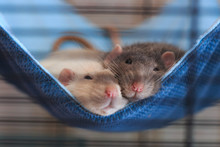 Two Pet Male Rats - White And Gray - Laying Cozy In Their Blue Hammock In The Cage