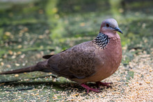 The Spotted Dove (Spilopelia Chinensis) Searching Food In A Zoo, A Small And Somewhat Longtailed Pigeon, A Common Resident Breeding Bird Across Indian And Southeast Asia And China