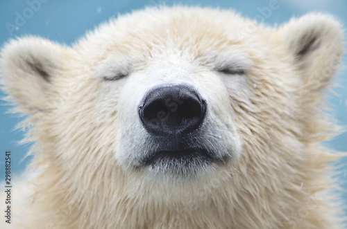 Papiers peints Loup portrait of a polar bear