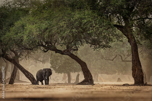 African Bush Elephant - Loxodonta africana in Mana Pools National Park in Zimbab Wallpaper Mural