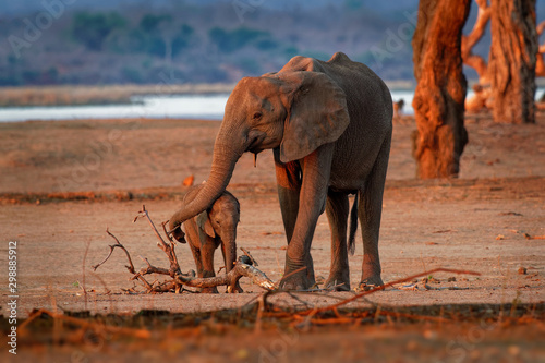 African Bush Elephant - Loxodonta africana small baby elephant with its mother, Wallpaper Mural
