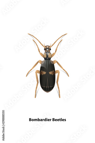 Fotografie, Tablou Bombardier beetle vector on a white background