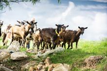 Goats In Natural Environmnet