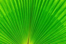Mediterranean Fan Palm Green L...