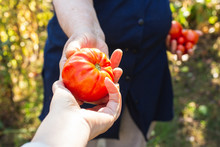 Female Farmer Hands Give Freshly Picked Tomatoes To Someone. Healthy Eating