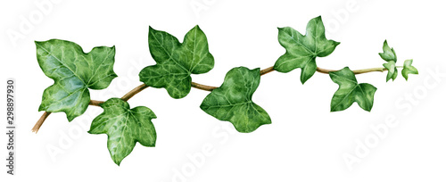 Fotografia  Ivy watercolor illustration