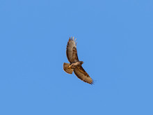 Common Buzzard Flying Against ...