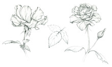 Hand Drawing Roses. Sketch. Pencil Drawing