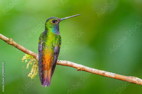 White-tailed Hillstar - Urochroa bougueri, beautiful colored hummingbird from Andean slopes of South America, Hollin waterfall, Ecuador Poster Mural XXL