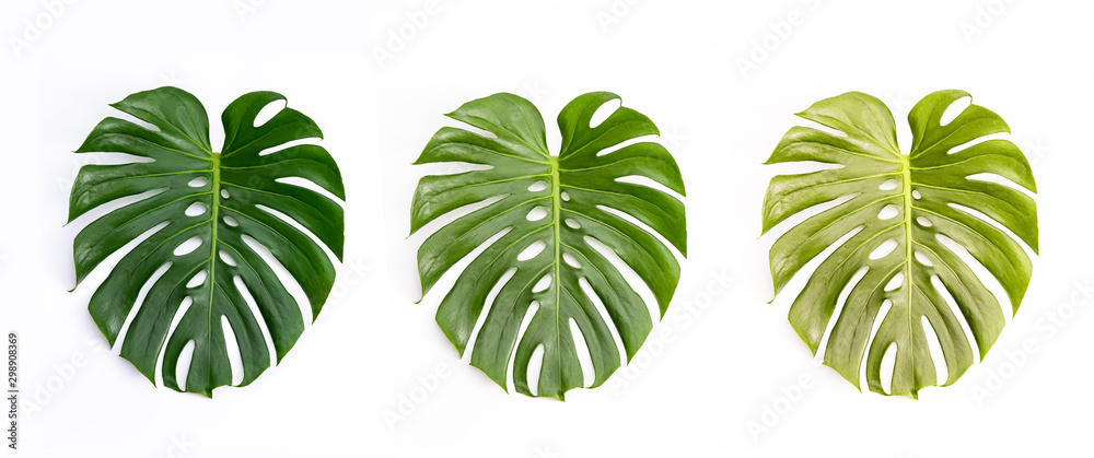 Fototapety, obrazy: Monstera green leaf isolated on white background