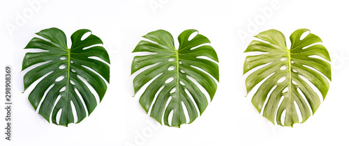 Monstera green leaf isolated on white background