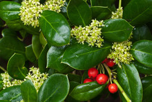 Leaves, Flowers, And Last-season's Berries Of Burford Holly Bush (Ilex Cornuta), A Popular Ornamental Bush Native To China.