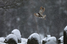 Tawny Owl Flying In Old Jewish...