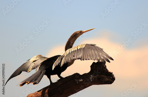 Anhinga bird with wings extended against a pale blue sky Fototapet