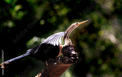 Fotografie, Tablou  Male Darter-  Anhinga - perched on a dead tree trunk with a natural bush backgro