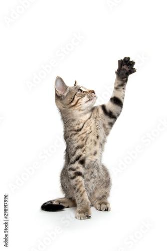 Cute tabby kitten playing Wall mural