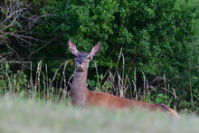 Portrait Of Hind Head On The Meadow