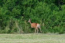 Doe Deers Grazing On The Meadow In Rut Season