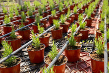 Bushes Of Rosemary In Pots