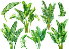 Set Of Jungle Leaves, Strelitzia On An Isolated White Background, Botanical Illustration, Watercolor Tropical Plants