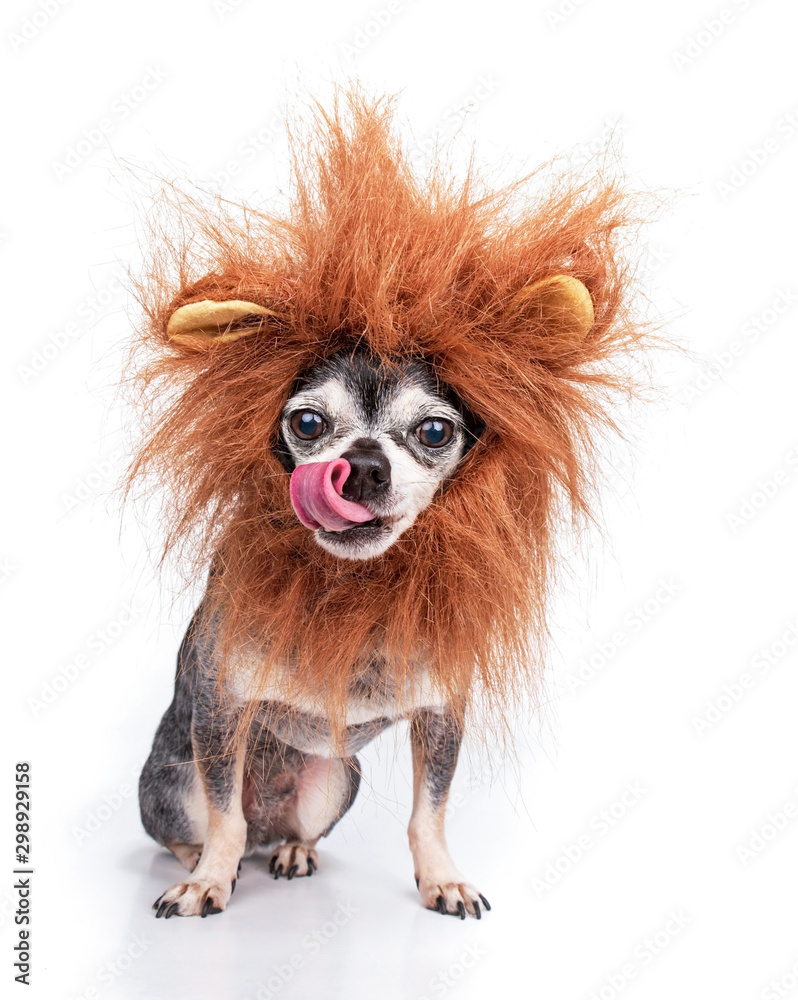 Fototapeta Cute chihuahua with a lion mane studio shot isolated on a white background