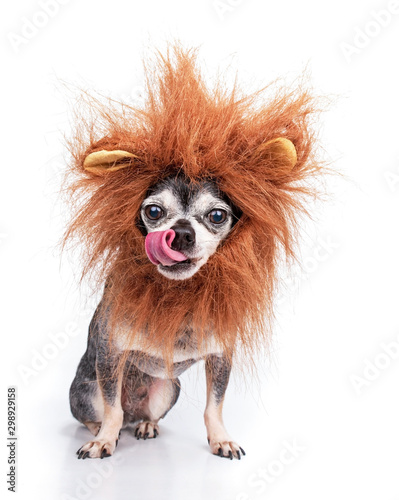Cute chihuahua with a lion mane studio shot isolated on a white background Wallpaper Mural